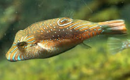 Canthigaster bennetti